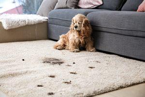 Pet staining carpet